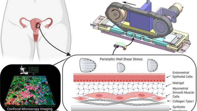 Artificial Tissue Used to Research Uterine Contractions