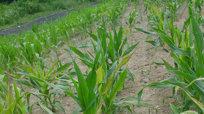 Antioxidants in Corn Line Could Aid Human IBD Protection & Therapy